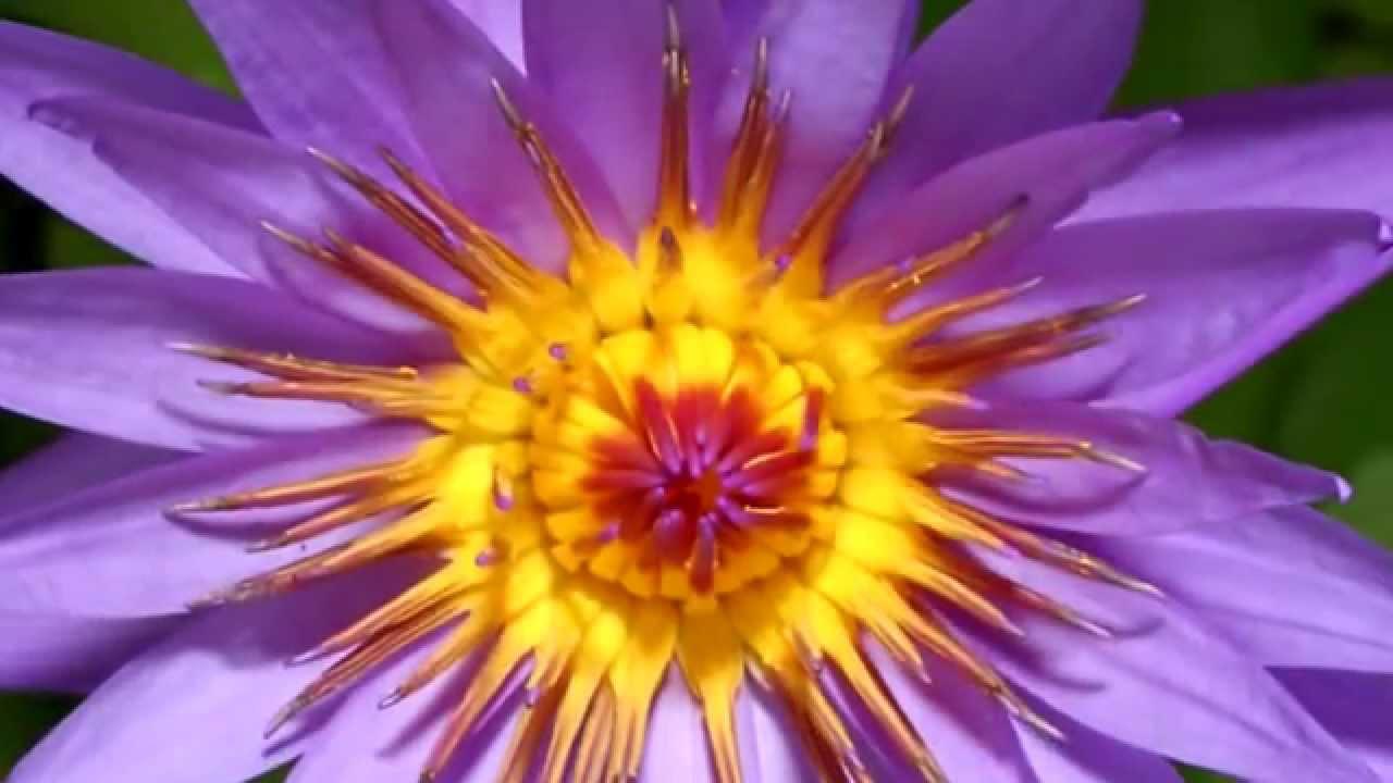 Цветы распускаются красиво