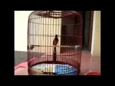 Tiếng chim chích chòe hót cực hay
