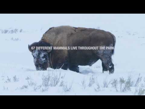 4 Reasons to Visit Yellowstone in the Winter | Collette - USA Tours