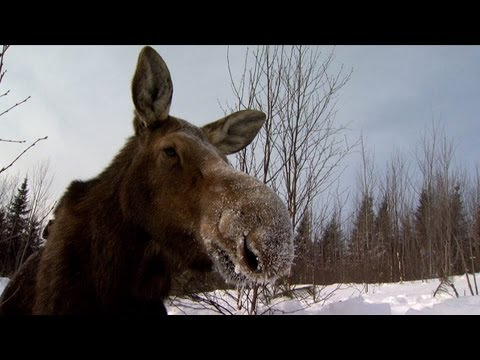 Minnesota DNR Moose Research Project - 2013