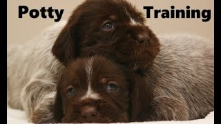 How To Potty Train A Wirehaired Pointing Griffon Puppy - Wirehaired Pointing Griffon Puppies