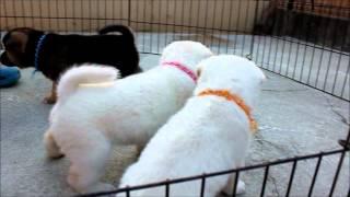 2012.9.26撮影 紀州犬花の有色紀州犬の子犬^^