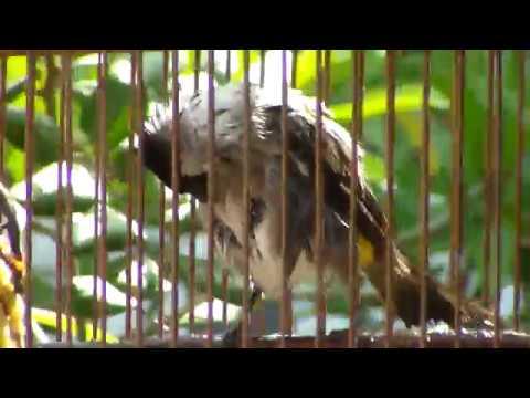 Burung Kutilang Mandi dan Berkicau thumbnail