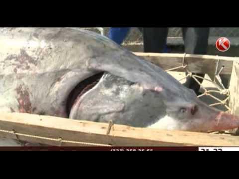 Атырауские рыбаки поймали