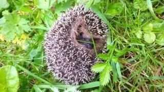 Молодой ёж, пыхтит / The young hedgehog, puffing(Ёжик не захотел позировать на камеру и всячески пытался сорвать процесс съёмок, агрессивно фыркая и подпры..., 2013-07-20T18:18:57.000Z)