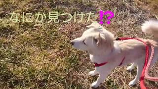 琴ちゃん、何みつけたの?保護犬のお散歩✨琴ちゃん、にこにこくん編 LYSTAシェルター