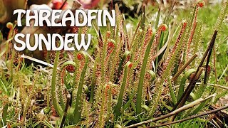 Best Beginner Sundew