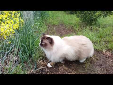 Stalking the chickens again - PoathCats / PoathTV / Floppy Ragdoll Cats