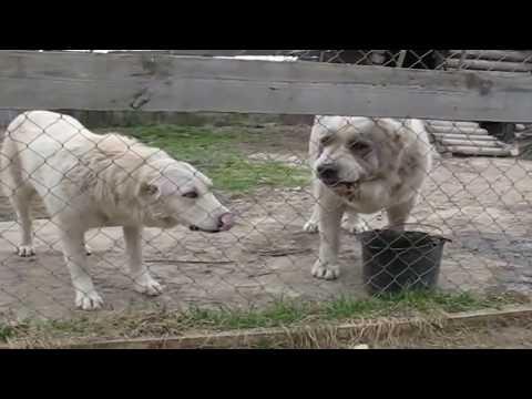 ALaBai Looks Like a Huge Polar Bear , How much do they eat ?