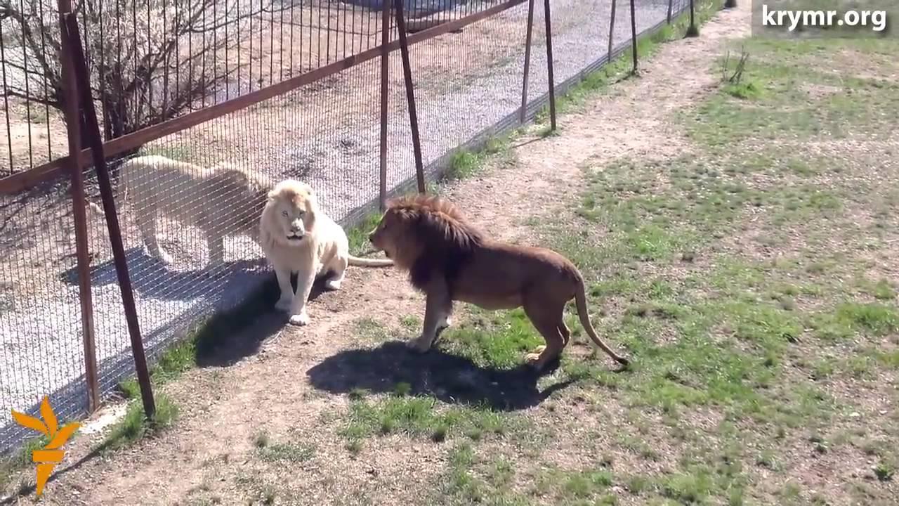 В крымском сафари парке львы делят территорию