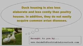 Raising Domestic Ducks For Beginners