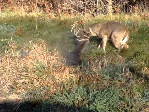 Buck Fight Locked Horns