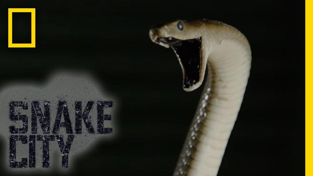 Black Mamba in a Hut | Snake City