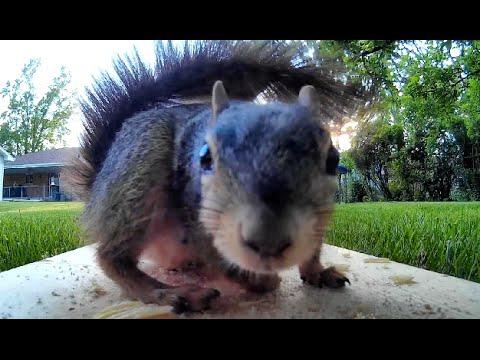 Squirrel Pees on Food - Rabbit Eats It! BackYard Files