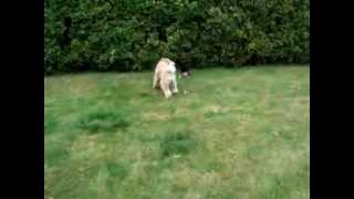 Crazy Wheaten Terrier & Border Terrier - True Love!