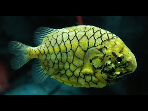 Facts: The Pinecone Fish