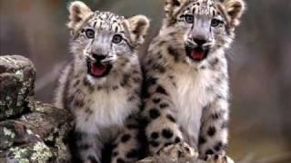 Irbis - Snow Leopard