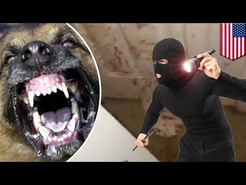 Guard dog: german shepherd attacks intruder, family returns to find blood on the walls - TomoNews