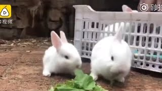 "Trending on Chinese Social media: A ""unicorn"" rabbit takes the net by storm"