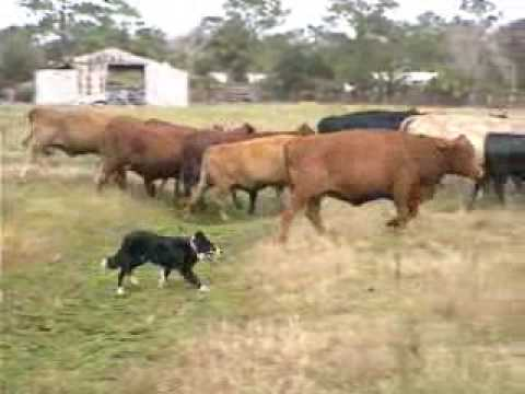 Border Collies Herding Cattle