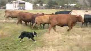 Repeat youtube video Border Collies Herding Cattle