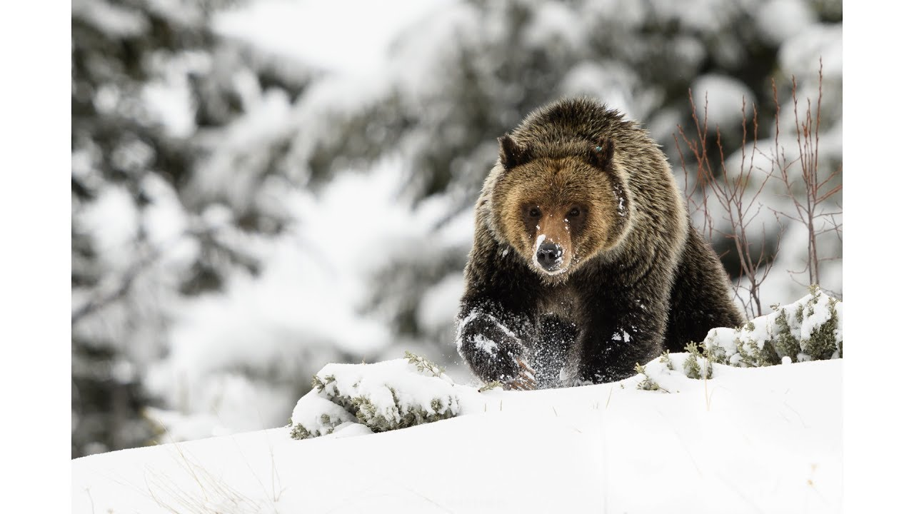 wildlife photography snow day with grizzly bears youtube. Black Bedroom Furniture Sets. Home Design Ideas