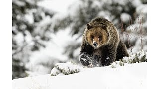 Wildlife Photography - Snow Day with Grizzly Bears thumbnail