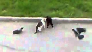 Триллер про кошек... с воронами..