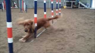 Agility training (weave poles) - cocker spaniel Scooby