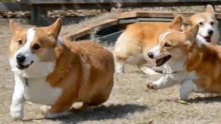 Goro & Rosemary Run / ローズマリーと追いかけっこするゴローさん 20150313 Goro@welsh Corgi コーギー Dog