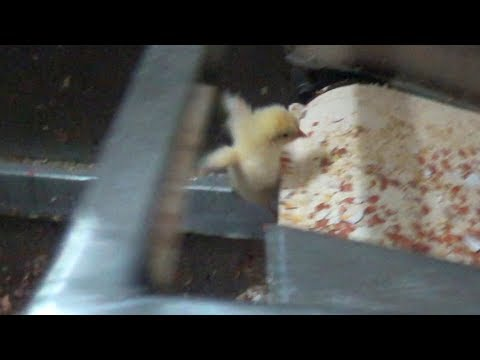 Male Chicks Ground Up Alive in Eggs Production