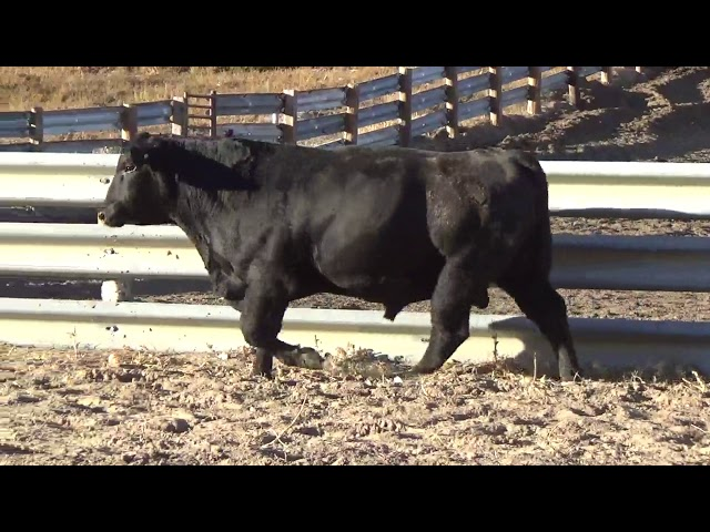 Connealy Angus Lot 248