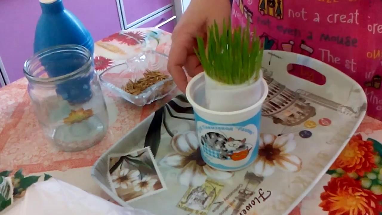 Как очень быстро вырастить дома траву для кошки