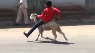 Little Kid Riding Goat Funny Video