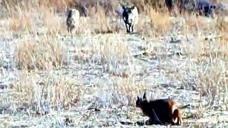Incredible Attempt by a Caracal at Hunting Warthogs - Latest Wildlife Sightings