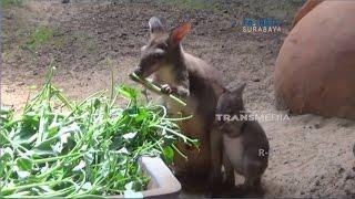 Lucunya Kangguru Terkecil Lahir, Kangguru Asli Papua