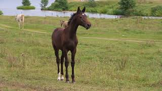 Продажа ахалтекинских лошадей.Sales of Akhal-Teke horses http://akhaltekellc.com