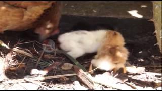 Në Shkodër, zogu i pulës lind me 4 këmbë- Ora News- Lajmi i fundit-