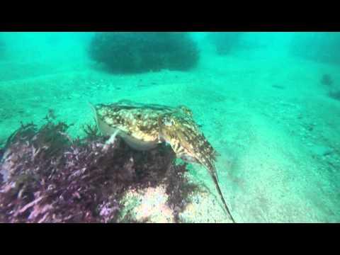 Chesil Beach Marine Life - Cuttlefish consuming a Pipefish