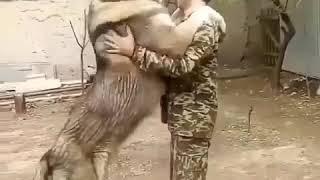world big and #dangerous #Dog #Afghan #kuchi سگ افغان کوچی