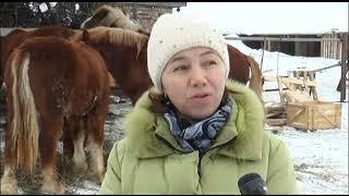 Пестречинские фермеры занимаются разведением племенных лошадей породы русский тяжеловоз