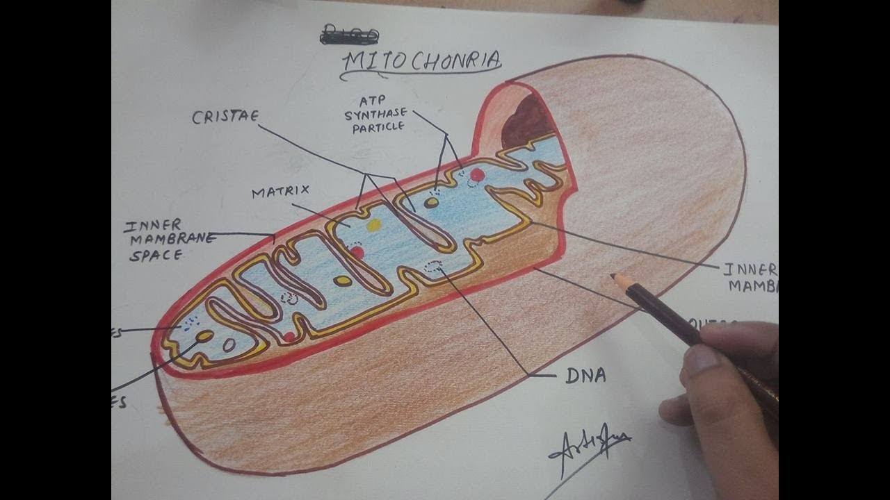 How To Draw Mitochondria