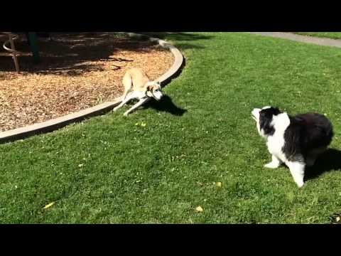 iPhone 5s slow-motion (dogs playing)