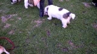保護犬のサルーキのサラちゃんのおともだちワンコです。 プチバセットグ...