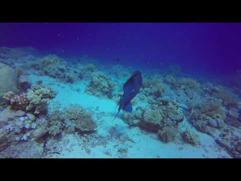 A Triggerfish being cleaned on Yolanda Reef - Ras Mohammad, Egypt - June 2017