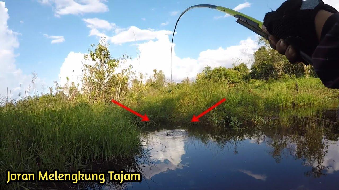 Lihatlah Joranku Melawan Keganasan Ikan Saat Mancing Betok Dan Ikan Predator