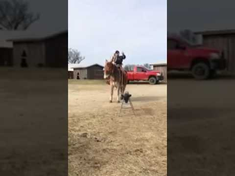 belgian mule roping