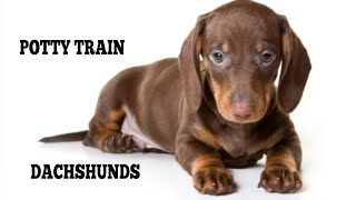 How To Quickly House Train Dachshunds