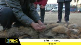 Nuôi giết thú lấy lông tại Trung Quốc: Không nhân đạo nhưng vẫn đam mê