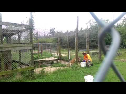 Big cats eating mcclelland s zoo in troy alabama